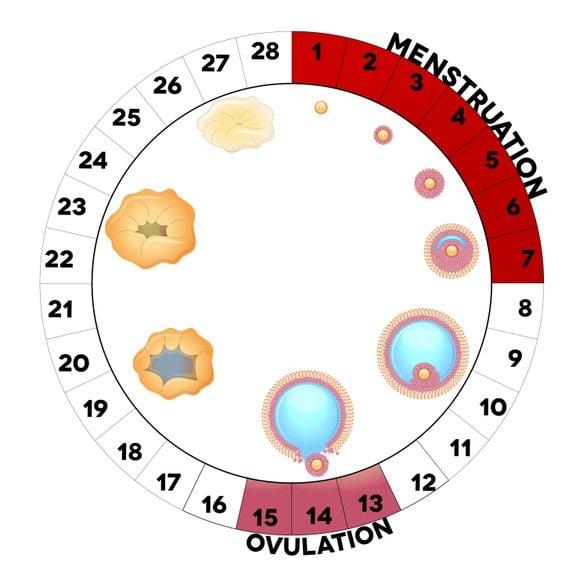 Menstruationszyklus
