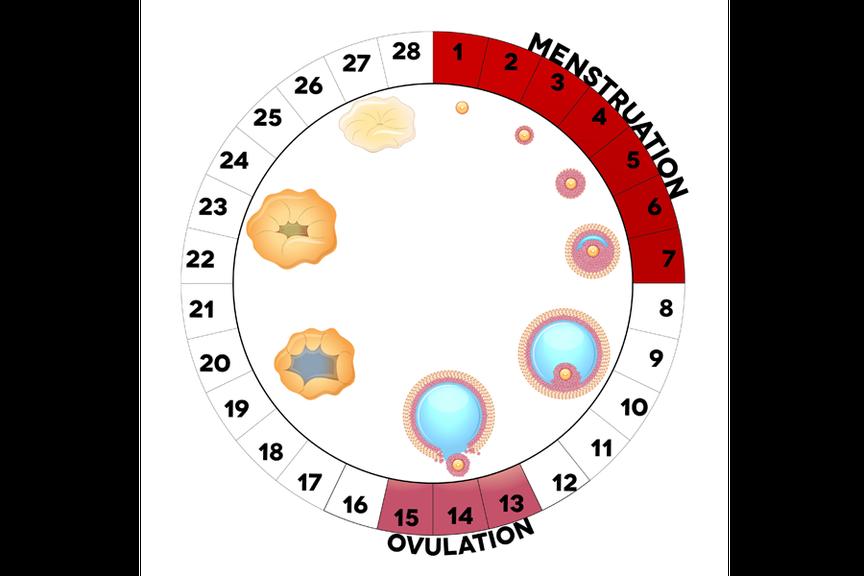Menstruationszyklus 2,Ovulationskalender