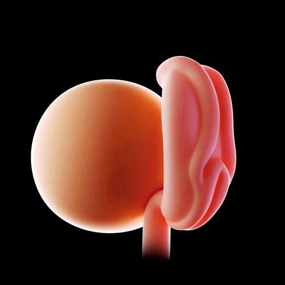 Embryo 4 Woche